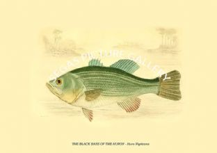 THE BLACK BASS OF THE HURON - Huro Nigricans